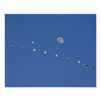 Snow geese and Canadian geese take flight at Poster