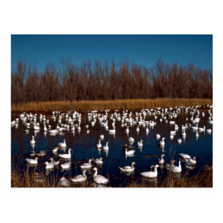 Snow Geese Bosque Del Apache National Wildlife Ref Postcard