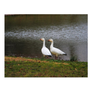 Snow Geese by the Pond Postcard