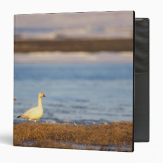 snow geese, Chen caerulescens, pair on a Binder