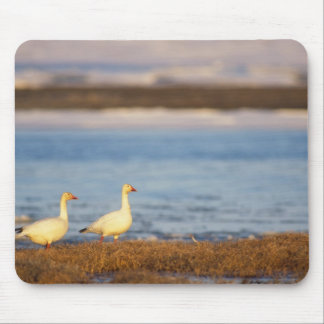 snow geese, Chen caerulescens, pair on a Mouse Pad