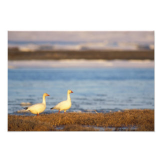 snow geese, Chen caerulescens, pair on a Photo Print