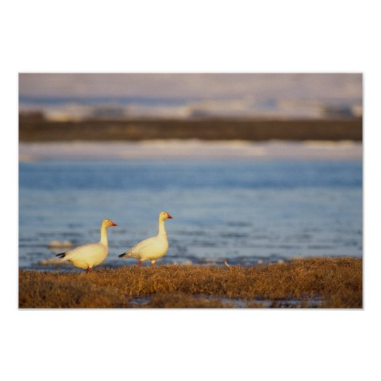 snow geese, Chen caerulescens, pair on a Poster