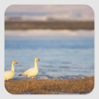 snow geese, Chen caerulescens, pair on a Square Sticker