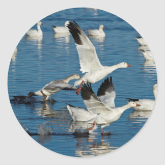 Snow Geese (Chen Caerulescens) Taking Off Classic Round Sticker