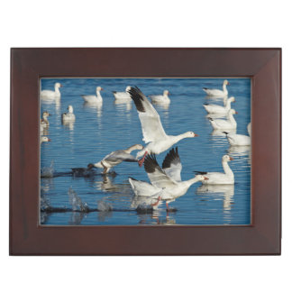 Snow Geese (Chen Caerulescens) Taking Off Memory Box