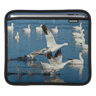 Snow Geese (Chen Caerulescens) Taking Off Sleeves For iPads