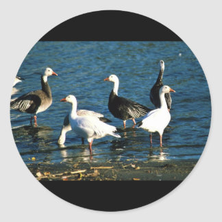 Snow Geese Classic Round Sticker