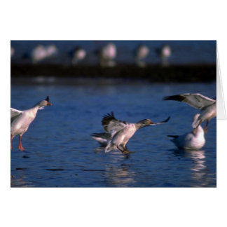 Snow Geese, dropping in Greeting Card