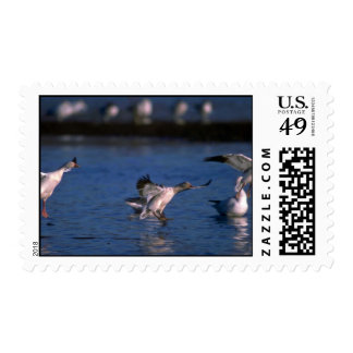 Snow Geese, dropping in Postage Stamps
