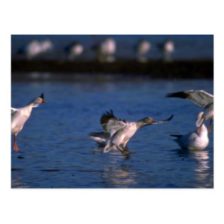 Snow Geese, dropping in Postcard