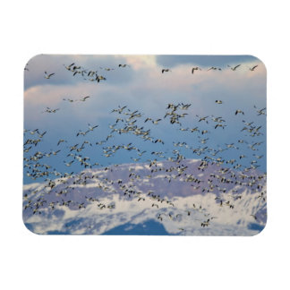 Snow geese during spring migration 2 magnet