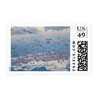 Snow geese during spring migration 2 postage stamps