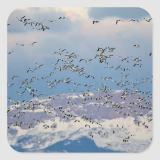 Snow geese during spring migration 2 square sticker