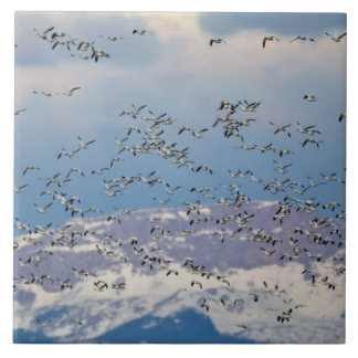 Snow geese during spring migration 2 tile