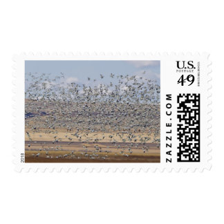 Snow geese during spring migration 3 stamp