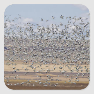 Snow geese during spring migration 3 square sticker