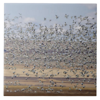 Snow geese during spring migration 3 tile