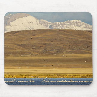 Snow geese during spring migration mouse pad