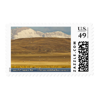 Snow geese during spring migration postage stamps