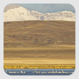 Snow geese during spring migration square sticker