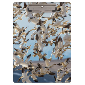 Snow Geese Fill The Sky After Feeding In Barley Clipboard