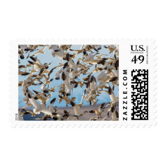 Snow Geese Fill The Sky After Feeding In Barley Postage Stamp