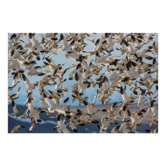 Snow Geese Fill The Sky After Feeding In Barley Poster