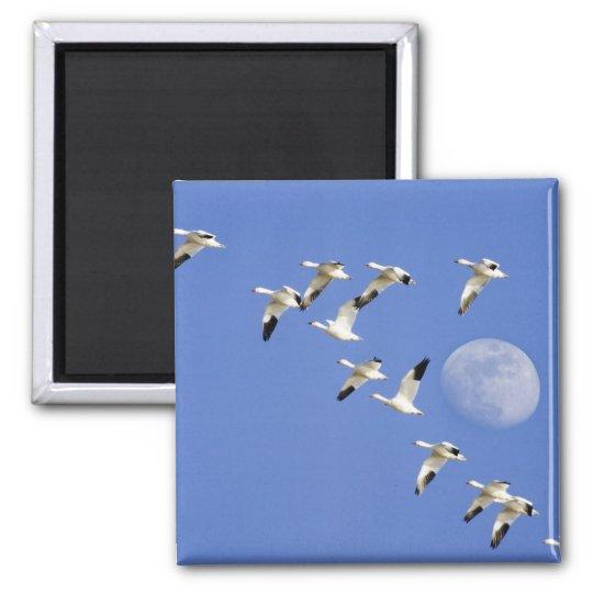 Snow geese take flight at Freezeout Lake NWR Magnet