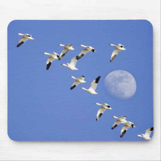Snow geese take flight at Freezeout Lake NWR Mouse Pads