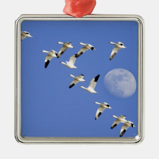 Snow geese take flight at Freezeout Lake NWR Ornament