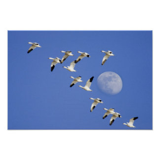 Snow geese take flight at Freezeout Lake NWR Posters