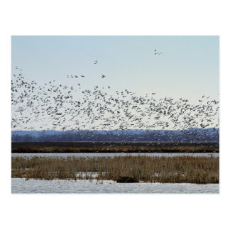 Snow Geese Taking off, Squaw Creek Refuge Postcard