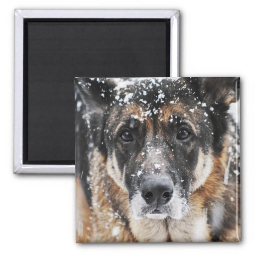 Snow German Shepherd Photograph Magnet