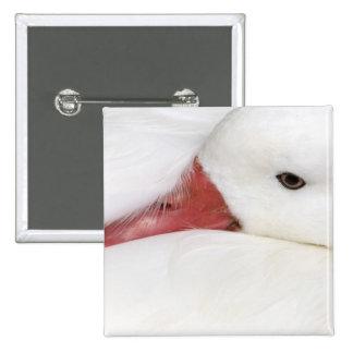 Snow Goose Chen caerulescens), captive in 2 Inch Square Button