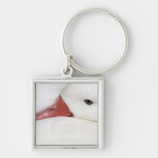 Snow Goose Chen caerulescens), captive in Keychain