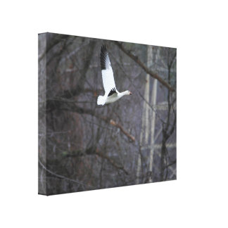 Snow Goose in Flight Canvas Print