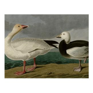 Snow Goose Postcard