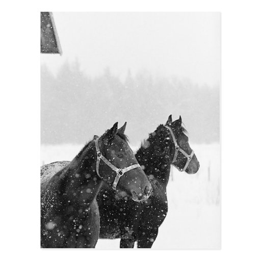 Snow Horses Postcard