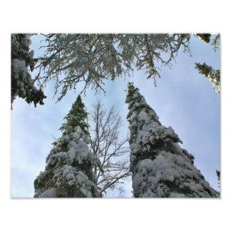 Snow Laden Tall Trees Photo