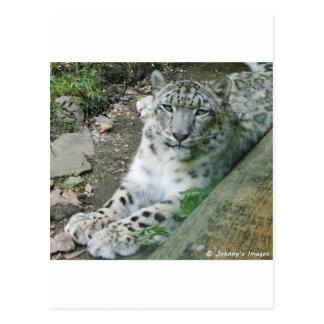 Snow Leopard 1 Postcards