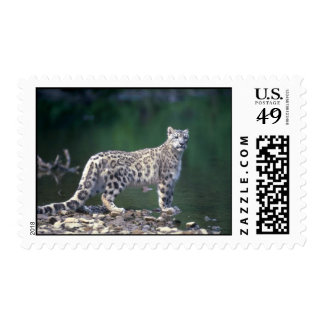 Snow Leopard beside river Postage