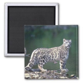 Snow Leopard beside river Refrigerator Magnets