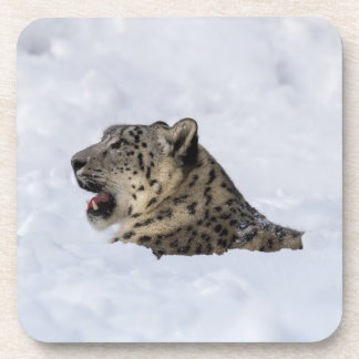 Snow Leopard Buried in Snow Coaster