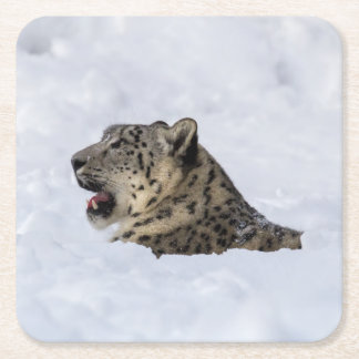 Snow Leopard Buried in Snow Square Paper Coaster