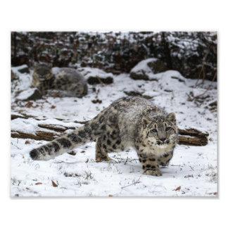 Snow Leopard Cub Photo
