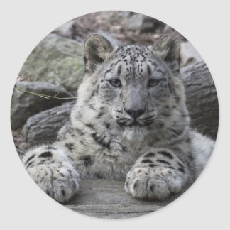 Snow Leopard Cub Sitting Classic Round Sticker