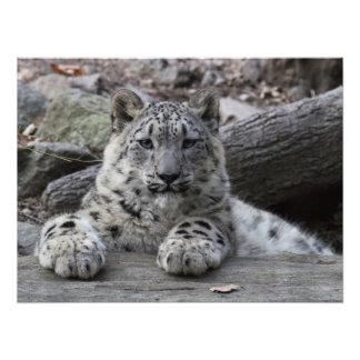 Snow Leopard Cub Sitting Photo Print