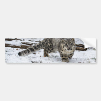 Snow Leopard Cub Stalking Birds Bumper Sticker