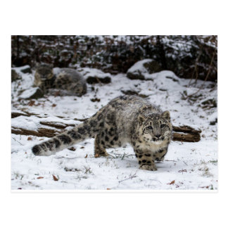 Snow Leopard Cub Stalking Birds Post Card